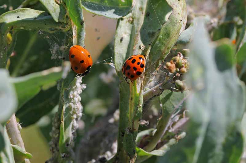 A seven-spotted ladybug and a Harlequin ladybug attack and eat cabbage aphids.