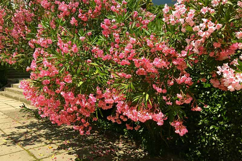 A large pink oleander shrub in bloom on a sunny day. A backyard setting next to a stone tiled patio.