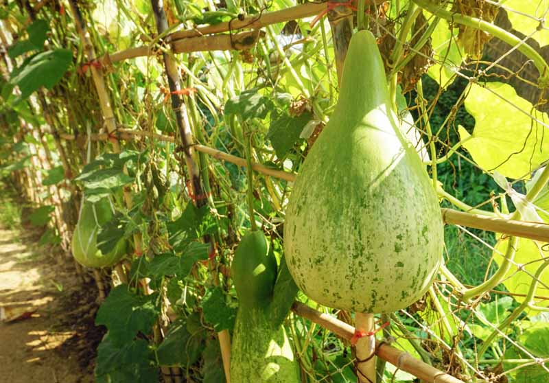 A large hard shell bottle type gourd hanging from the vine. It's starting to turn from green to tan as part of the drying process.