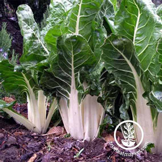 Lucullus Swiss Chard growing in the garden.