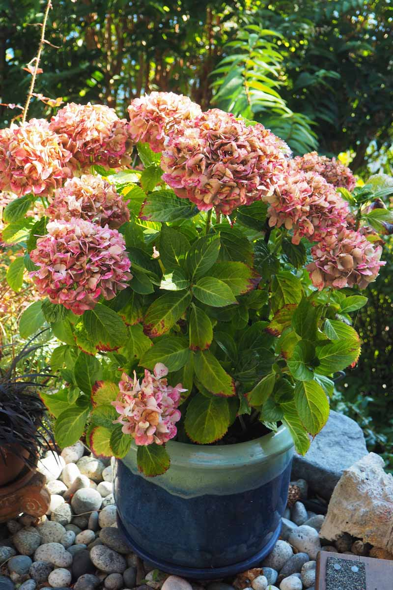 A hydrangea shrub with mauve flowers potted in a blue ceramic container.