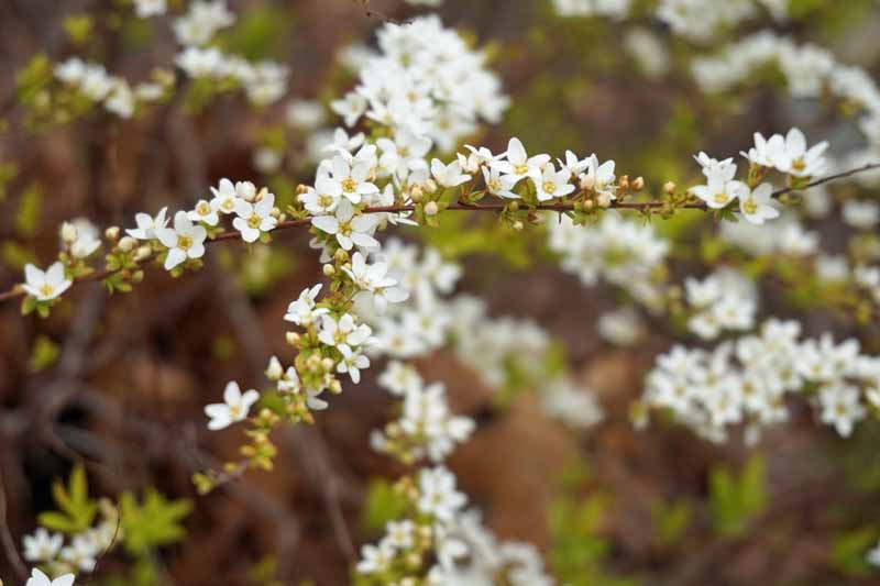 Close up of mellow yellow 'ogon' spirea flowers with selective focus and a diffused background.
