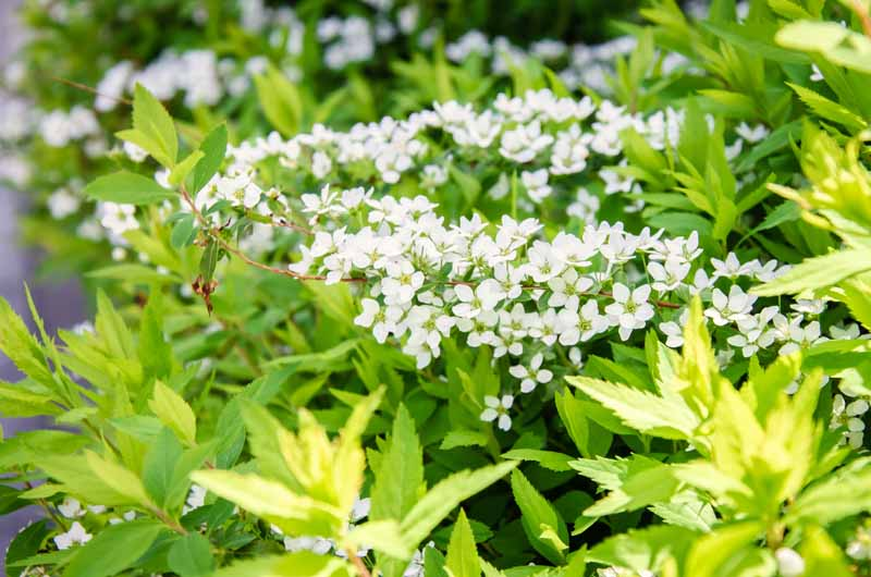 Small white flowers of the Mellow Yellow 'Ogon' Spirea bush in the morning light.
