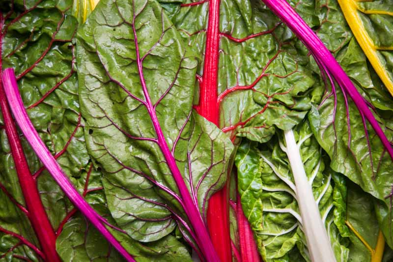 Harvested chard leaves with yellow, purple, and orange stalks. Top down view.