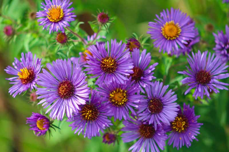Clue up of purple blue New England aster flowers.