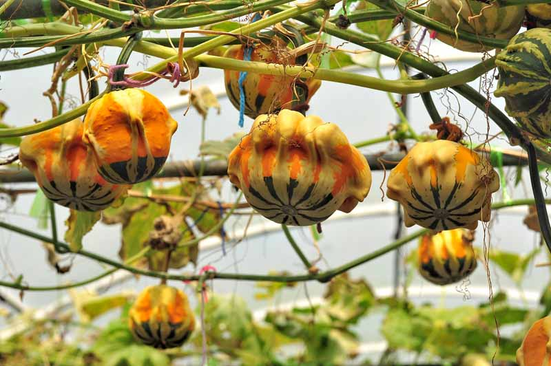 Orange and green bicolor gourds growing on a trellis