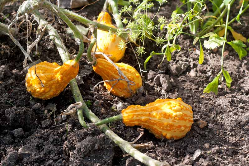 A cluster of orange gourds growing on the vine.