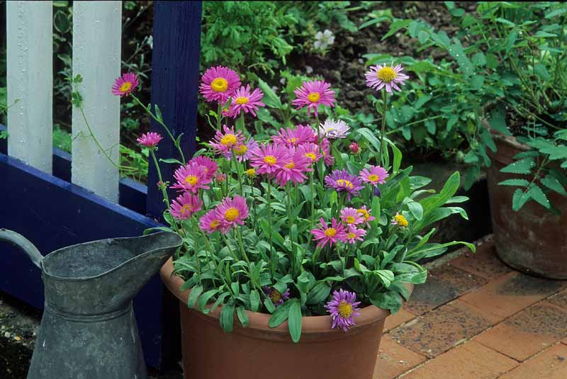 Pink Alpine aster flowers in a large terra cotta container.