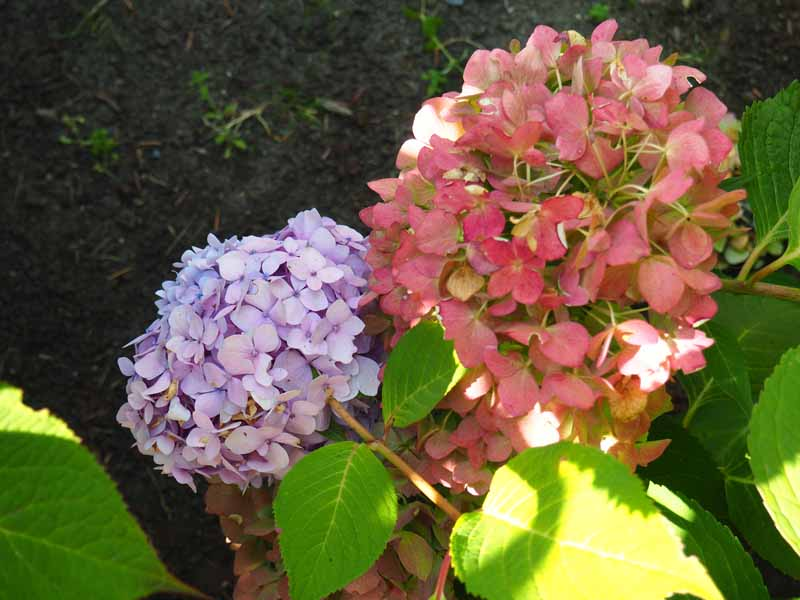 A close up horizontal image of pink and mauve hydrangea flowers pictured on a soft focus background.