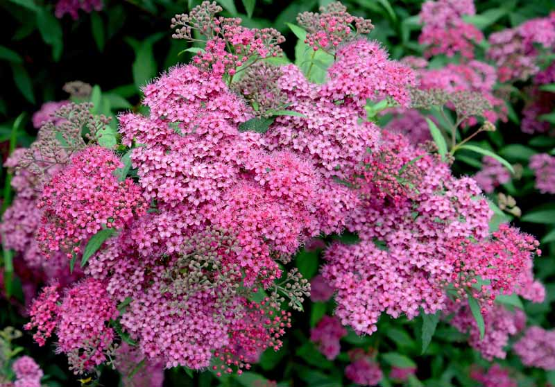 Various shades of pink flowers of Spiraea japonica in bloom.