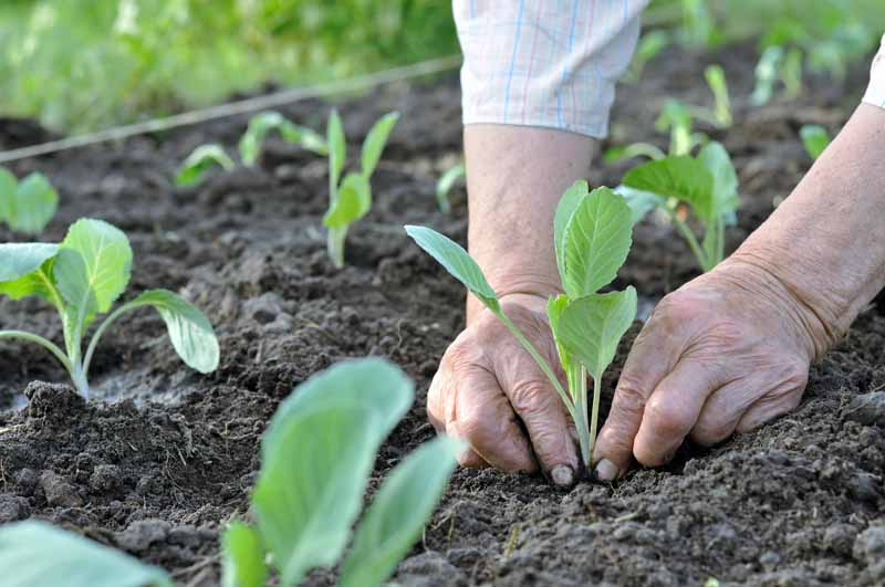 A pair of human hands transplants cabbage seedlings into a vegetable garden.