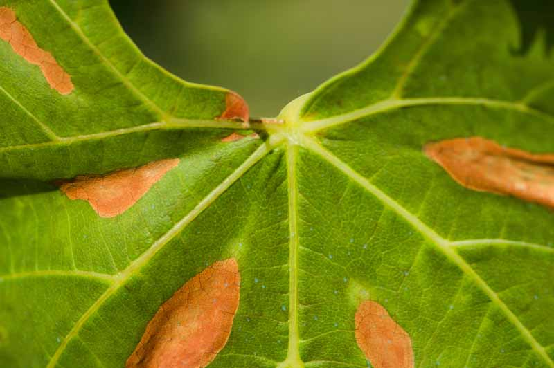 Close up of a grape leaf with brown splotches caused by Xylella fastidiosa subsp. fastidiosa bacterium.