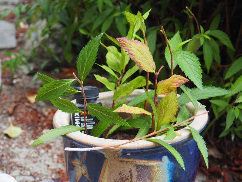 How To Propagate Spirea Bushes Gardener S Path