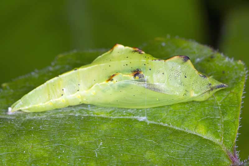 Pupa of Pieris rapae the small white or small cabbage white ibutterfly. Close up macro photo.