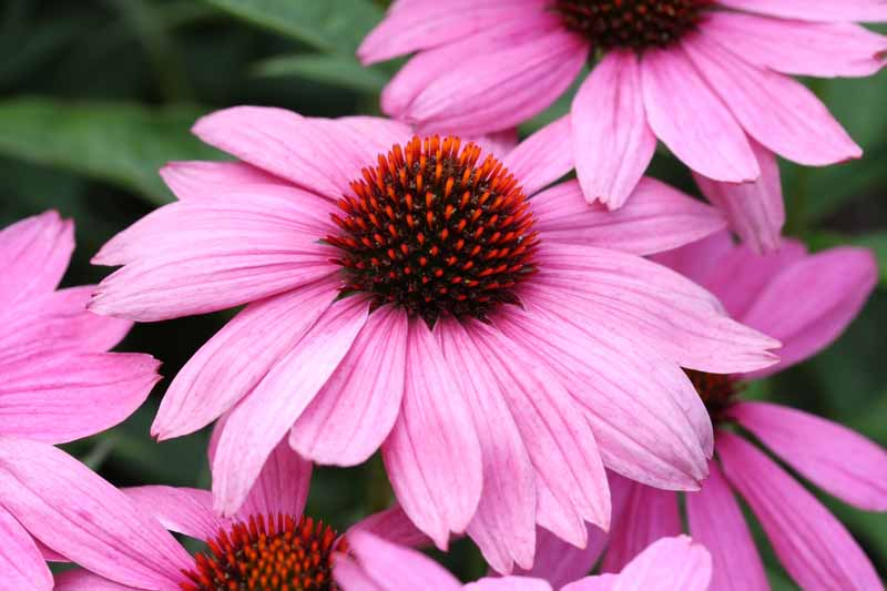 Close up of purple coneflowers (Echinacea purpurea).