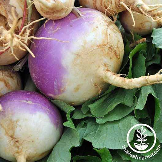 Close up of harvested purple top white globe turnips.