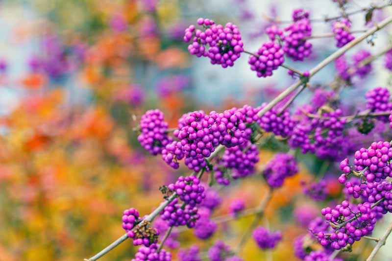 The purple berries of the American Beautyberry shrub (Callicarpa americana) on an autumn day with fall colored foliage in a diffused backgrround.