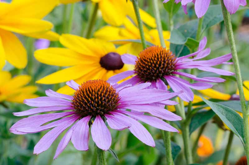 Purple cone flowers and black eyed Susans growing in a flower bed. Close up.