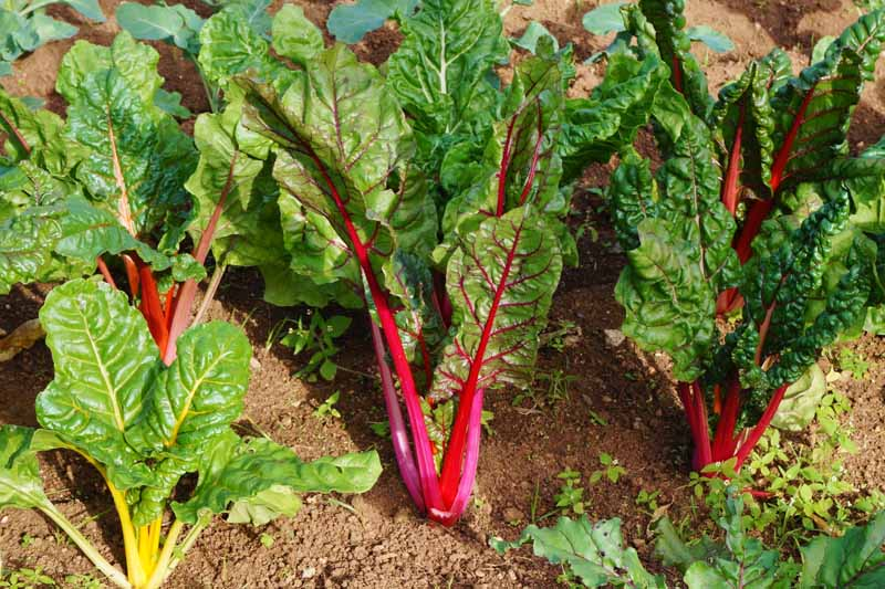 Different colors of Swiss chard forming a rainbow mix in the garden.