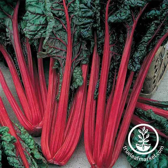 Stalks of Ruby Red Swiss Chard,