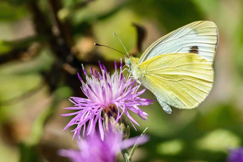 small cabbage white butterflies (Pieris rapae) sitting on a purple flower.