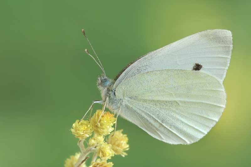 A small cabbage white butterflies (Pieris rapa) resting on a yellow brassica flower.