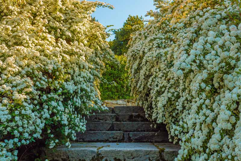 Spirea forming two living walls surrounding a series of stone terraced steps.