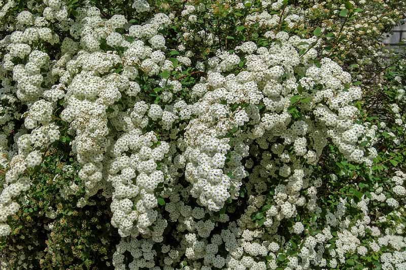 Spring flowers of Bridalwreath Spiraea prunifolia in bloom.