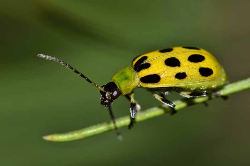 Close up of a yellow and black spotted cucumber beetle crawling along a pine needle.