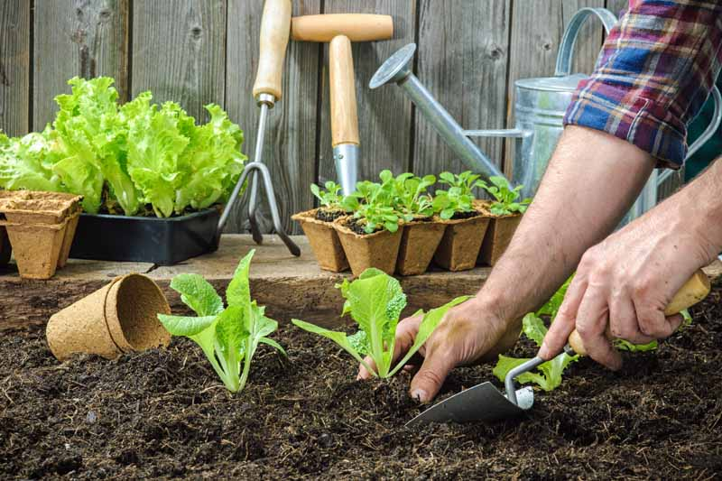A pair of human hand transplants lettuce starts as part of succession planting.