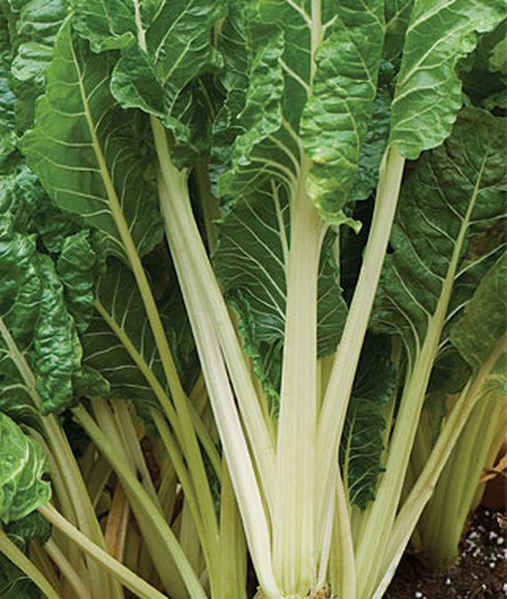 Fordhook Giant Swiss Chard, close up of the leafy stalks.