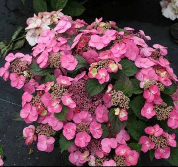 A close up square image of Tuff Stuff™ Reblooming Mountain Hydrangea with pink flowers pictured on a dark background..