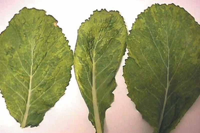 Three leaves showing signs of Turnip Mosaic Virus (Potyvirus TuMV).