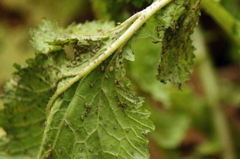 turnip aphids (Lipaphis erysimi) attacking leaves.