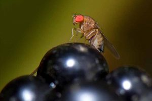 Using Organic Methods to Control the Spotted Wing Drosophila