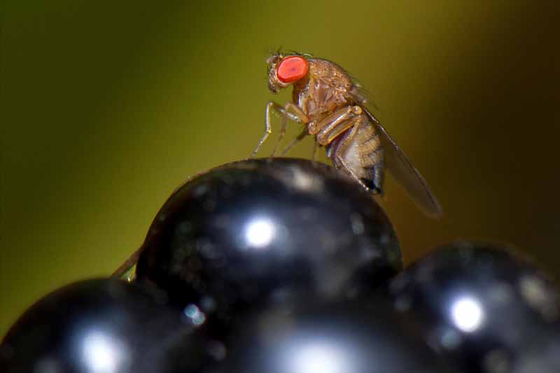 Close up of a female spotted wing Drosophila (Drosophila suzukii) landing on a pile of grapes. Macro shot.