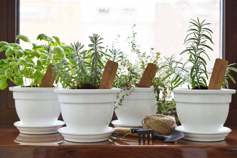 Kitchen herbs growing in white, porcelain pots on a south facing window sill.