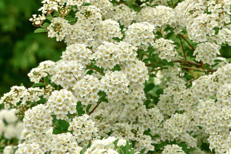 White flower clusters of Spiraea betulifolia in bloom in the summer.