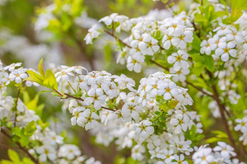 Close up photo of the white flowers of Spiraea prunifolia.