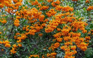 Pyracantha or firethorn shrub with a colorful display of orange berries in the autumn.