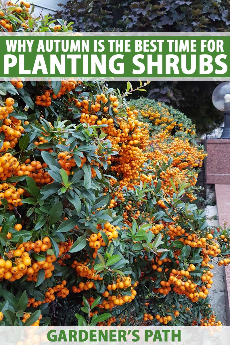 Autumn Is The Best Time To Plant Shrubs Gardener S Path