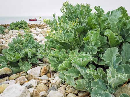 Wild cabbage (Brassica oleracea var. oleracea) growing on the southeast coast of England