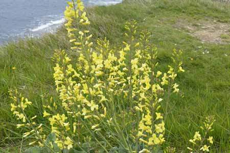Wild cabbage (Brassica oleracea var. oleracea) in bloom with yellow flowers on stalks in its second year