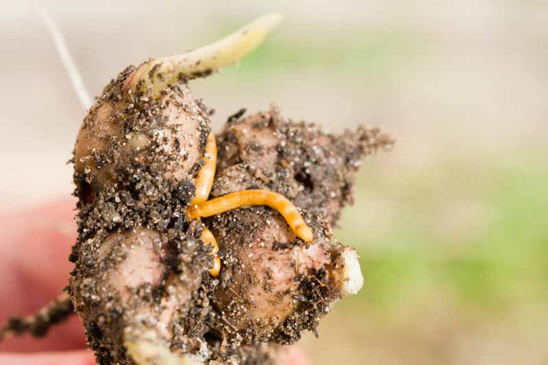 Wireworms crawling on a turnip being held to the camera lens by a human hand.