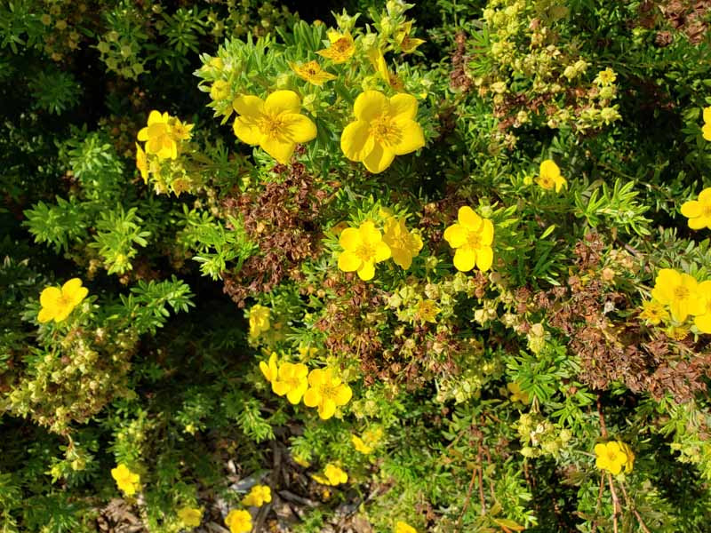 A close up horizontal image of yellow cinquefoil bush flowers in bloom growing in the garden pictured in bright sunshine.