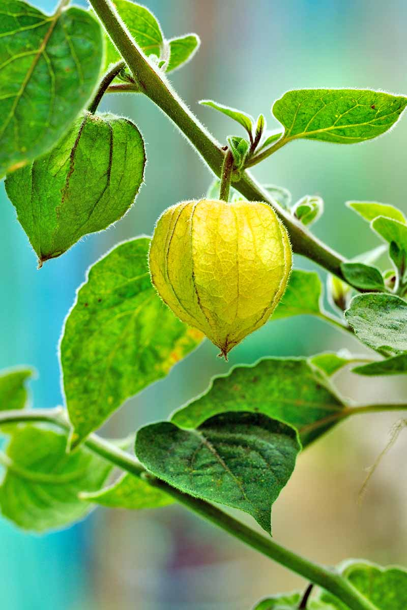 Close-up vertical image of a Physalis pruinosa berry, with a papery husk around the fruit hanging from a branch, with leaves around it and a soft focus green background.