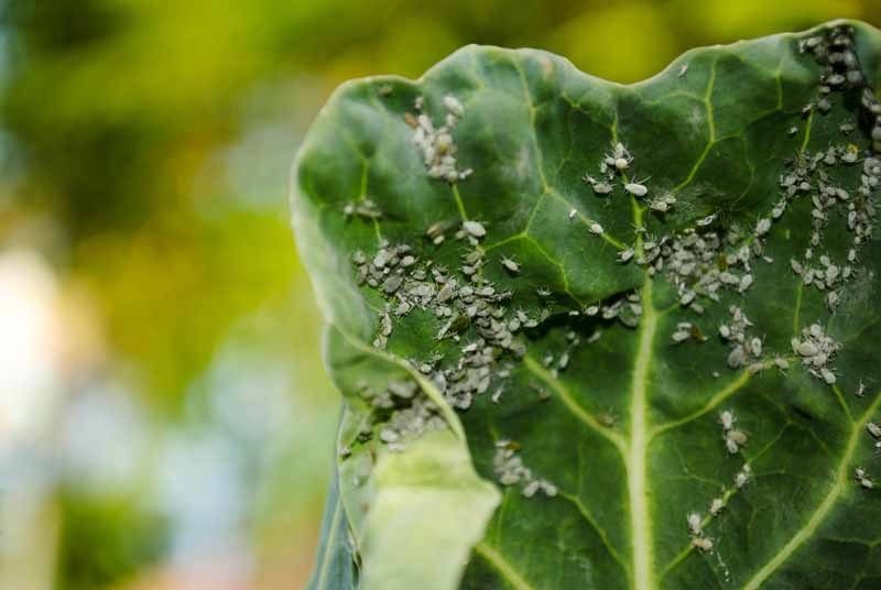 Green aphids clinging to cabbage leaf.