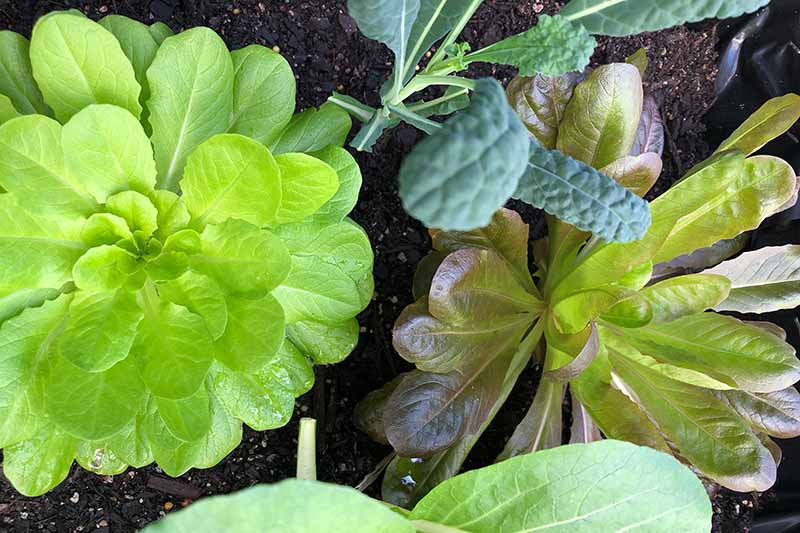 A close up of lettuce growing in soil. To the left of the frame, a bright green plant with small leaves, to the right of the frame, a plant with darker leaves. To the top of the frame is a young kale plant. The background is rich, dark soil.