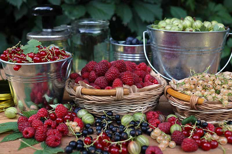 A table laden with a fruit harvest. Two small metal buckets, containing (from the left) cranberries, and gooseberries. In front are two wicker baskets with plump red raspberries and white currants, with black and red currants, some gooseberries and raspberries scattered on the wooden surface, amongst some foliage.