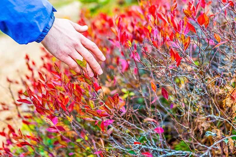 A man's hand reaches from the left of the frame to touch the bright red and yellow autumn leaves of a blueberry bush, the colors contrasting with the brown and green stems.